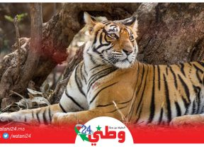 لأول مرة..إصابة نمر في حديقة حيوانات بفيروس كورونا